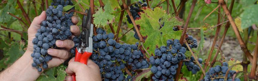 organic wines, bulgarian wines, Neragora