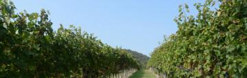 Thracian wines Mavrud